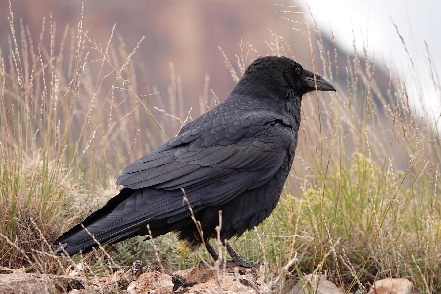 Common Raven | Josh Lien