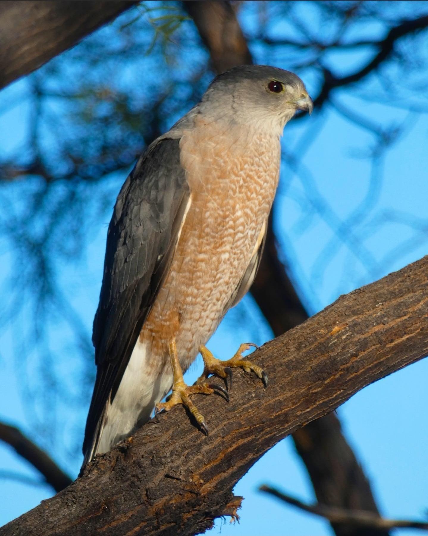 Coopers Hawk | Sonoran Desert Rat