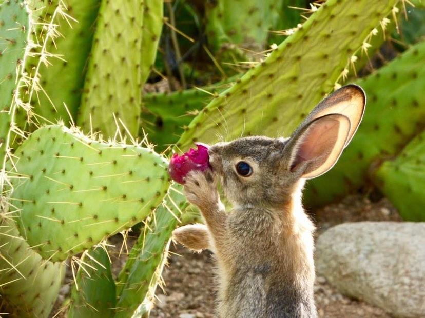 Desert Cottontail | Sonoran Desert Rat